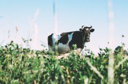 Milchkuh Startups statt Unicorns & Zebras